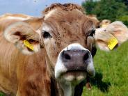 Baden-Württemberg: Kuh geht in Festzelt durch und verletzt mindestens elf Menschen