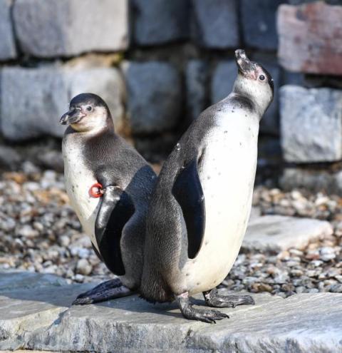 Luisenpark in Mannheim: Getöteter Pinguin: Polizei hat Theorie zum Täter