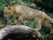Wildkatzen: Sind die wilden Samtpfoten zurück?