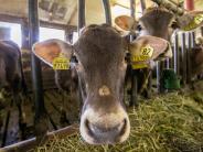 Schweinspoint: Kühe lassen sich nicht wieder einfangen