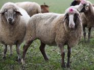 Landwirtschaft: Weniger Schafe auf den Weiden der Region