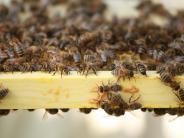 Wemding: Unbekannter zerstört 15 Bienenstöcke