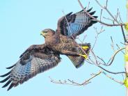 Tiere: Tödliche Gefahr für Greifvögel