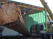 Welden: So lang, so gerade, so teuer: ein Rekordbaum in Welden