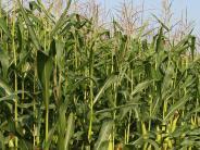 Niederschönenfeld: Metallstücke im Mais: Häcksler beschädigt