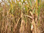 Rain: Noch ein Maishäcksler beschädigt