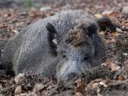 Monheim: Wildschweine gegen Auto und Lkw