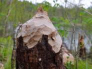 Landkreis: Nicht nur der Biber ärgert die Waldbauern