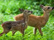 Bissingen-Stillnau: Wilderer schießt auf drei Rehkitze