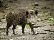 Rain: Zug kontra Wildschwein: Bahnstrecke gesperrt