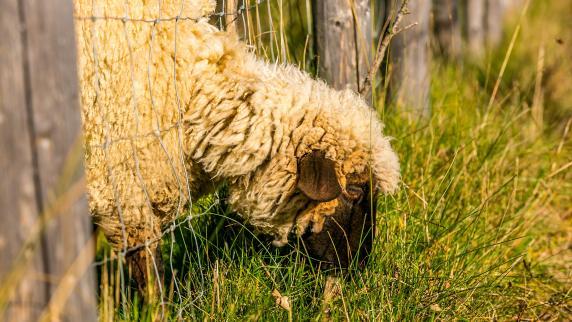 Herrchen gibt Hund als Schaf aus und spart Steuern