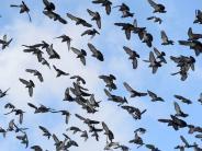 Tiere in Friedberg: Wenn Tauben zur Plage werden