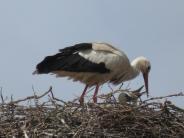 Natur: Der Storch bringt die Babys
