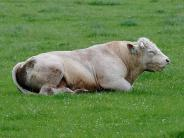 Sturmtief Burglind: Stiere flüchten von der Weide bei Merching
