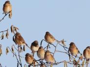 Natur: Hier findet der Bluthänfling im Winter Nahrung