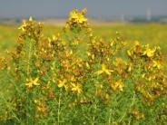 Ernährung: Pflanzliche Mittel: Nach Nebenwirkungen fragen