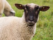 Leichte Sprache: 600 Schafe bringen Sport-Lauf durcheinander