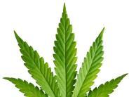 Landkreis Neu-Ulm: Haft für Hobbygärtner mit Cannabis-Plantage