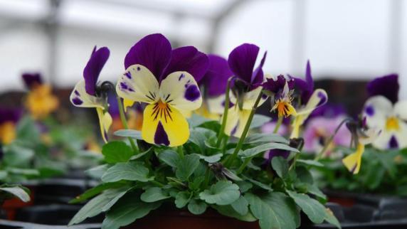Ratgeber: Wie Sie Ihre Pflanzen Heil Durch Die Kalte Jahreszeit ... Garten Stiefmuetterchen Ratgeber Pflanzen