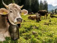 Unterallgäu/Allgäu: Mehr Kühe auf dem Hof