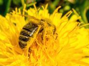 Illertissen: Mit vereinten Kräften für die Biene