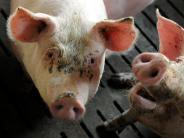 Ulm: Schwein fällt von Laster und löst Unfall aus