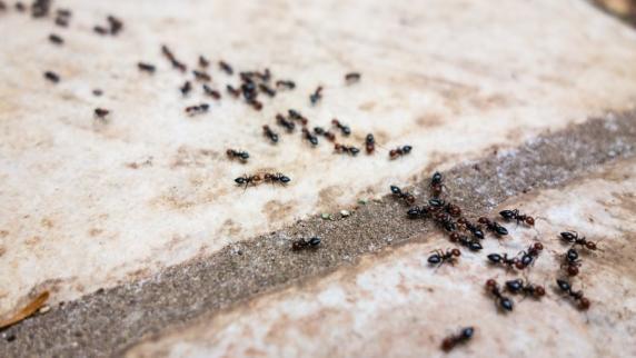 ameisen: wie sie ameisen im haus am besten bekämpfen - promis ... - Ameisen Im Wohnzimmer