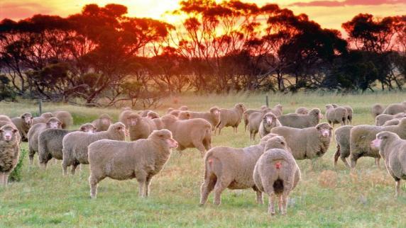 Schätzungen zufolge leben in australien 74 millionen schafe nun