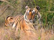 Safari: Vor dem Tiger sind alle gleich