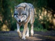 Die Wölfe kommen zurück: Auch der tote Wolf von der A8 stammt aus den Alpen