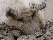 Internet-Hype um Wollschwein: Ein Schaf? Ein Schwein? Egal, das Netz ist entzückt
