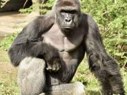 """Gorilla """"Harambe"""": Vierjähriger fällt in Gehege: Musste Gorilla wirklich erschossen werden?"""