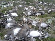 Norwegen: 323 tote Rentiere bleiben nach Blitz-Tod liegen