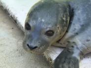 Zoo Augsburg: Video: Alle lieben Robbenbaby Pale