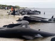 Wal-Sterben: Explosionsgefahr: Neuseeländer bringen Walkadaver von Küste weg