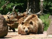 Augsburg: Braunbärin Ulma stirbt im Zoo an Altersschwäche
