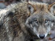 Interview: Bekommen wir ein Wolf-Problem?