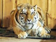 Nachwuchs: Flauschige Mini-Tiger: Zwillinge im Leipziger Zoo geboren