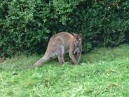 Bayern: Das entwischte Känguru in Niederbayern ist gefasst