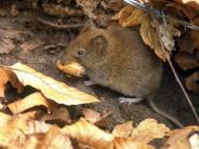 Rötelmaus: Hantavirus breitet sich in Baden-Württemberg besonders stark aus