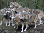 Wölfe: Willkommen Wolf? Die Rückkehr hat Folgen
