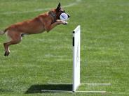 Weltmeisterschaft: Deutschlands Belgische Schäferhunde sind die besten
