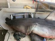 Australien: Fischer sitzt plötzlich mit Weißem Hai in einem Boot