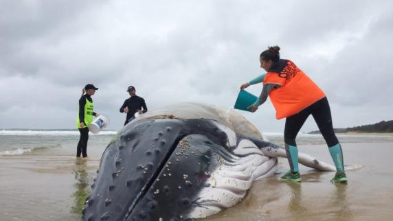Gestrandeter Buckelwal an australischer Küste eingeschläfert