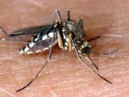 Natur: Die ewigen Plagegeister: Das hilft gegen Stechmücken