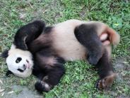 Berlin: Berlin ist im Pandabären-Fieber