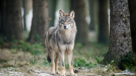 Toter Wolf im Schwarzwald wurde offenbar erschossen