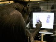 """Studie: Schimpansen können """"Schere, Stein, Papier"""" lernen"""