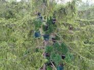 Haunstetter Wald: Polizei findet Marihuana-Plantage im Wald - teils in 25 Metern Höhe