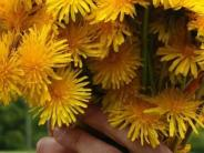 Garten: Von wegen Unkraut: Servieren Sie essbare Wildkräuter aus dem Garten